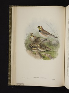 Image of Otocoris alpestris / Horned lark