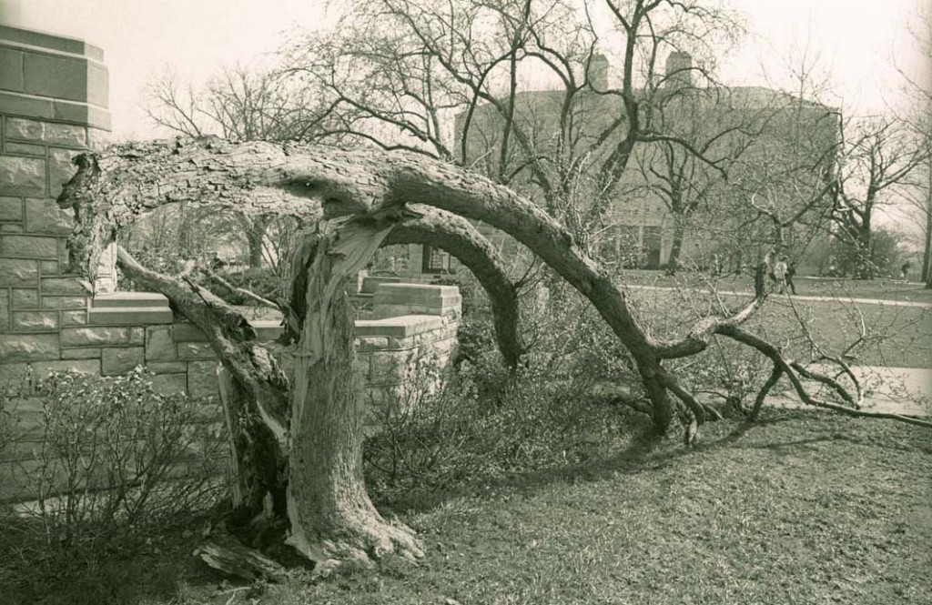 Photograph of a tree in front of Fraser Hall damaged by a storm, 1991