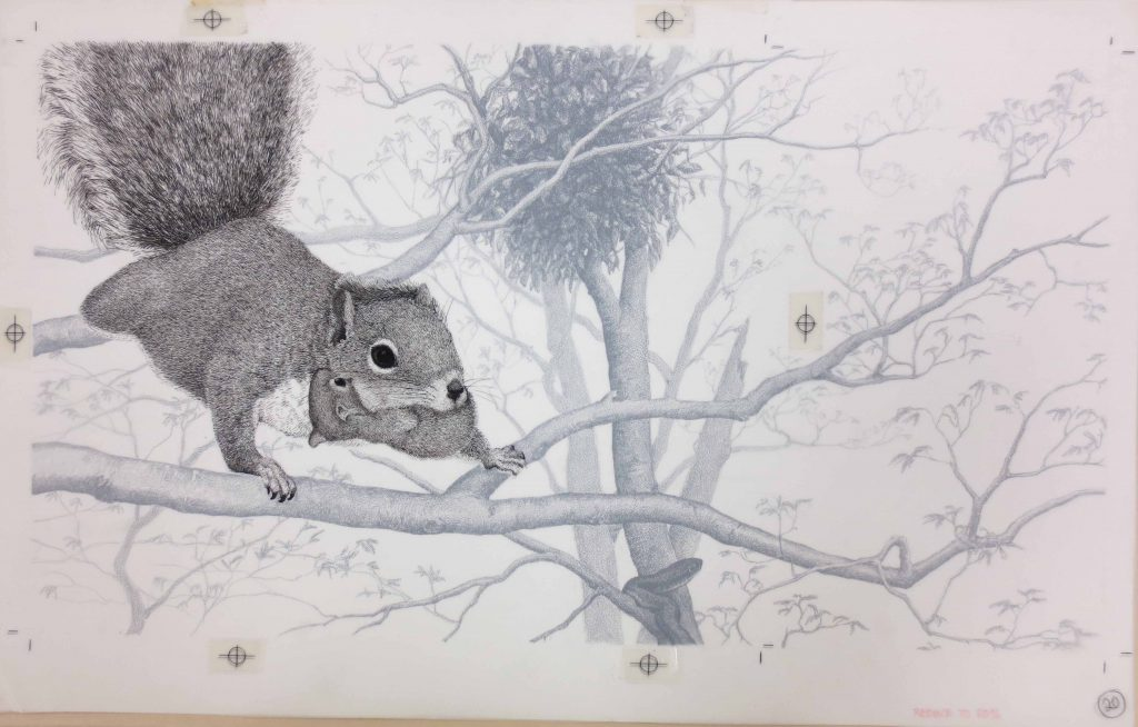 Ink and crayon drawing by D. D. Tyler of a Mother Squirrel Carrying Baby Squirrel for the book We Watch Squirrels by Ada and Frank Graham, 1985