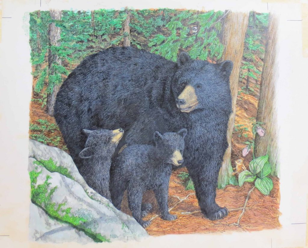 Color drawing by D. D. Tyler of Mother Bear and Cubs for book Bears in the Wild by Ada and Frank Graham, 1981
