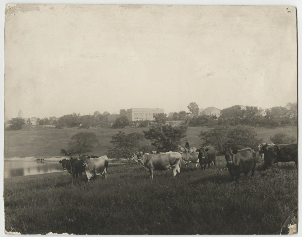 Photograph of cows grazing near Potter Lake, 1918