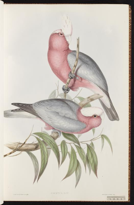 Illustration for the Rose-breasted cockatoo or Cacutua Eos (Plate IV, Vol. 5) from John Gould's Birds of Australia (1848), consisting of two birds in greenery.