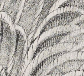 Enlarged detail of lithographic crayon shading of feathers of Greylag Wild Goose (Anser palasurus)