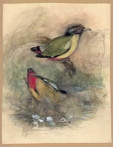 Rough pencil and chalk sketch of Pitta concinna by John Gould