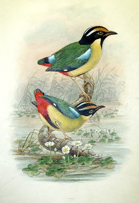 Finished watercolor of Pitta concinna by William Hart