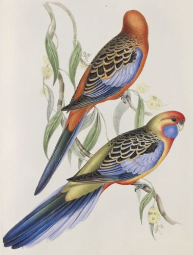 Image of the Adelaide Parakeet / Platycercus adelaidiae in The Birds of Australia (1848)