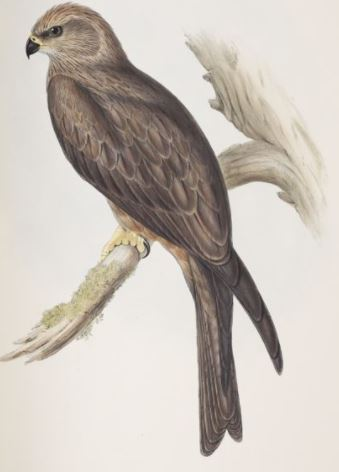 Image of the Allied Kite / Milvius affinus in The Birds of Australia (1848)
