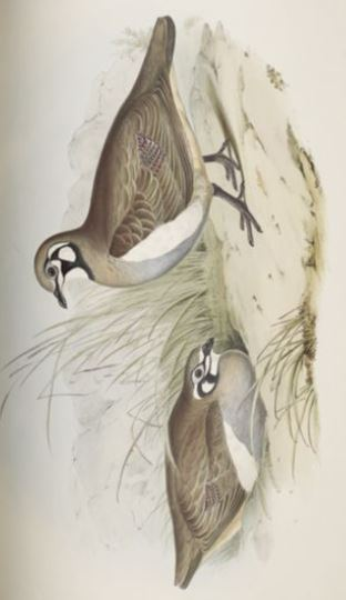 Image of the Partridge Bronze-wing / Geophaps scripta in The Birds of Australia (1848)