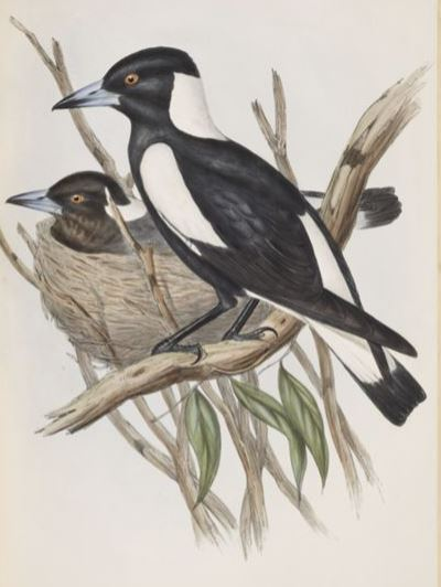 Image of the Piping Crow-shrike / Gymnorhina tibicen in The Birds of Australia (1848)