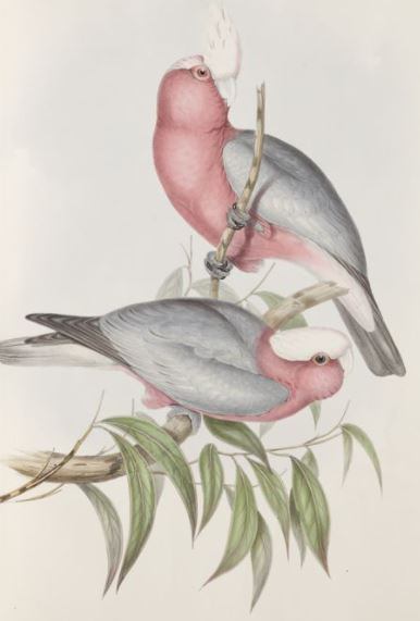 Image of the Rose-breasted Cockatoo / Cacatua eos in The Birds of Australia (1848)