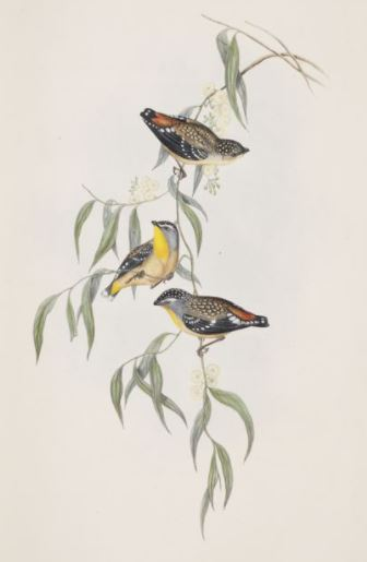 Image of the Spotted Pardalote / Pardalotus punctatus in The Birds of Australia (1848)