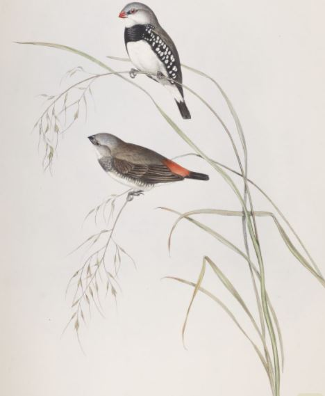 Image of the Spotted-sided Finch / Amadina lathami in The Birds of Australia (1848)